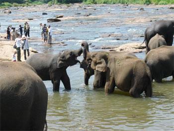 Pinnawala Elefanten