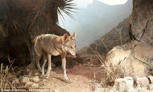Wolf im Samhan
