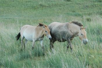 Hustai National Park Pferde Mongolei
